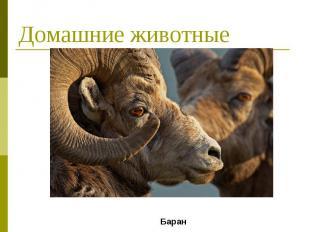 Домашние животные Баран
