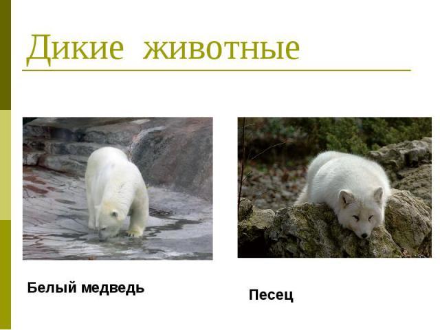 Дикие животные Белый медведь Песец