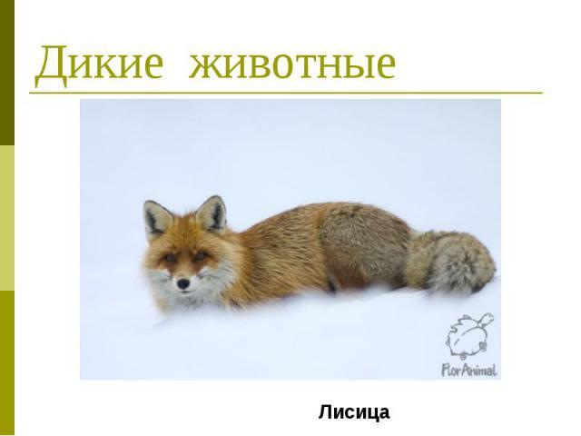 Дикие животные Лисица