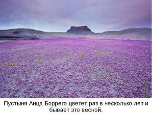 Пустыня Анца Боррего цветет раз в несколько лет и бывает это весной.
