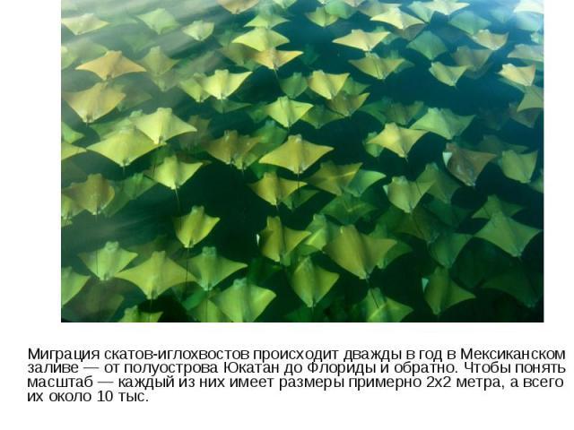 Миграция скатов-иглохвостов происходит дважды в год в Мексиканском заливе — от полуострова Юкатан до Флориды и обратно. Чтобы понять масштаб — каждый из них имеет размеры примерно 2х2 метра, а всего их около 10 тыс.