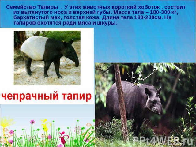 Семейство Тапиры . У этих животных короткий хоботок , состоит из вытянутого носа и верхней губы. Масса тела – 180-300 кг, бархатистый мех, толстая кожа. Длина тела 180-200см. На тапиров охотятся ради мяса и шкуры.