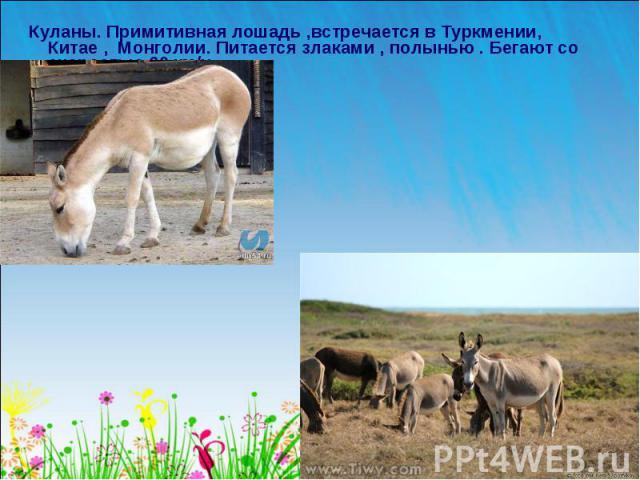 Куланы. Примитивная лошадь ,встречается в Туркмении, Китае , Монголии. Питается злаками , полынью . Бегают со скоростью 60 км/ч