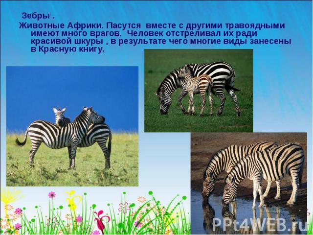 Зебры . Животные Африки. Пасутся вместе с другими травоядными имеют много врагов. Человек отстреливал их ради красивой шкуры , в результате чего многие виды занесены в Красную книгу.