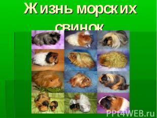 Жизнь морских свинок