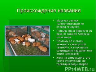 Происхождение названия Морская свинка -млекопитающее из отряда грызунов. Попала