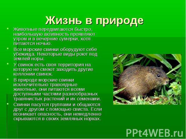 Жизнь в природе Животные передвигаются быстро, наибольшую активность проявляют утром и в вечерние сумерки, хотя питаются ночью. Все морские свинки оборудуют себе убежища. Некоторые виды роют под землей норы. У свинок есть своя территория на которую …