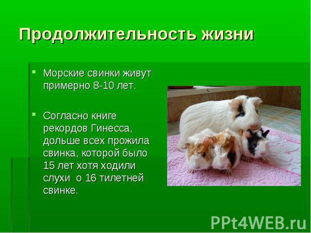 Продолжительность жизни Морские свинки живут примерно 8-10 лет. Согласно книге рекордов Гинесса, дольше всех прожила свинка, которой было 15 лет хотя ходили слухи о 16 тилетней свинке.