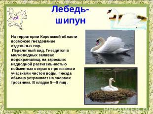 Лебедь-шипун На территории Кировской области возможно гнездование отдельных пар.