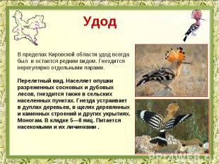 Удод В пределах Кировской области удод всегда был и остается редким видом. Гнезд
