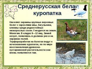 Среднерусская белая куропатка Населяет окраины крупных верховых болот с зарослям