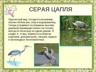 СЕРАЯ ЦАПЛЯ Перелетный вид. Гнездится колониями, обычно вблизи рек, озер и водох