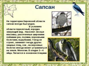 Сапсан На территории Кировской области сапсан всегда был редок. В условиях облас