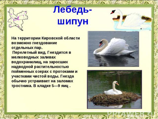 Лебедь-шипун На территории Кировской области возможно гнездование отдельных пар. Перелетный вид. Гнездится в мелководных заливах водохранилищ, на заросших надводной растительностью пойменных озерах с протоками и участками чистой воды. Гнезда обычно …