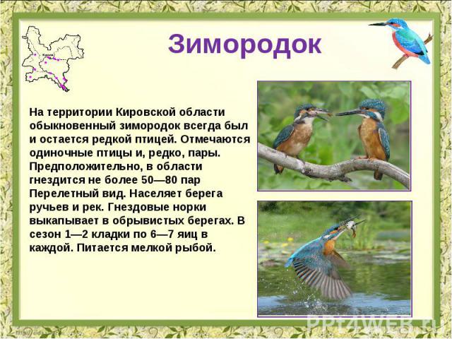 Зимородок На территории Кировской области обыкновенный зимородок всегда был и остается редкой птицей. Отмечаются одиночные птицы и, редко, пары. Предположительно, в области гнездится не более 50—80 пар Перелетный вид. Населяет берега ручьев и рек. Г…