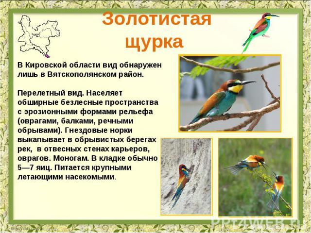 Золотистая щурка В Кировской области вид обнаружен лишь в Вятскополянском район. Перелетный вид. Населяет обширные безлесные пространства с эрозионными формами рельефа (оврагами, балками, речными обрывами). Гнездовые норки выкапывает в обрывистых бе…