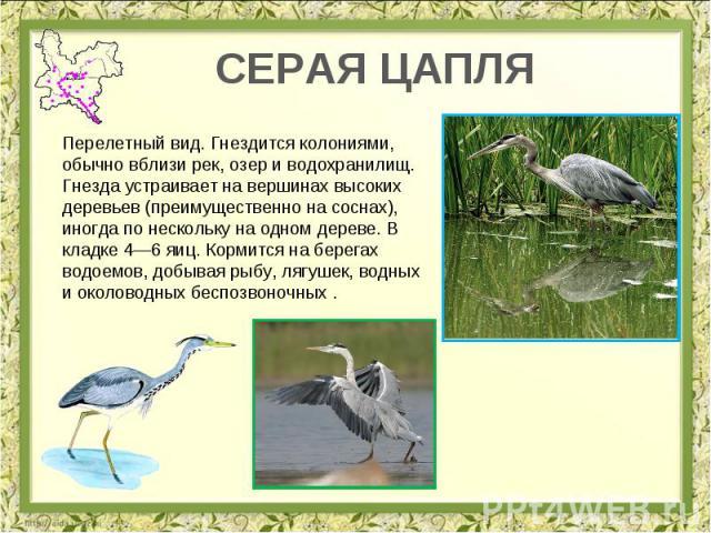 СЕРАЯ ЦАПЛЯ Перелетный вид. Гнездится колониями, обычно вблизи рек, озер и водохранилищ. Гнезда устраивает на вершинах высоких деревьев (преимущественно на соснах), иногда по нескольку на одном дереве. В кладке 4—6 яиц. Кормится на берегах водоемов,…