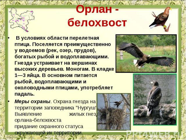 Орлан - белохвост В условиях области перелетная птица. Поселяется преимущественно у водоемов (рек, озер, прудов), богатых рыбой и водоплавающими. Гнезда устраивает на вершинах высоких деревьев. Моногам. В кладке 1—3 яйца. В основном питается рыбой, …