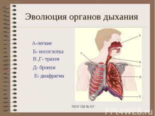 Эволюция органов дыханияА-легкие Б- носоглотка В ,Г- трахея Д- бронхи Е- диафраг