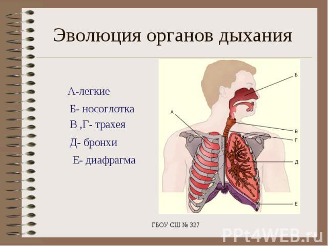 Эволюция органов дыханияА-легкие Б- носоглотка В ,Г- трахея Д- бронхи Е- диафрагма