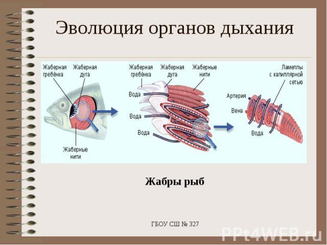 Эволюция органов дыхания Жабры рыб