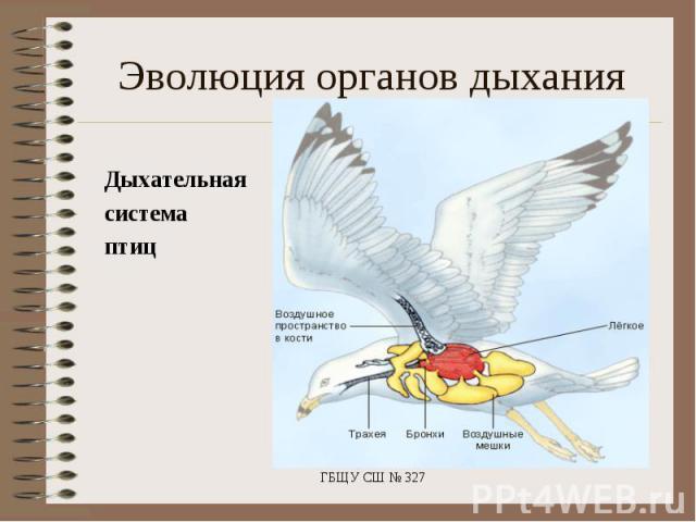 Эволюция органов дыхания Дыхательная система птиц