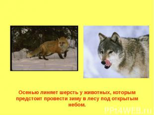 Осенью линяет шерсть у животных, которым предстоит провести зиму в лесу под откр