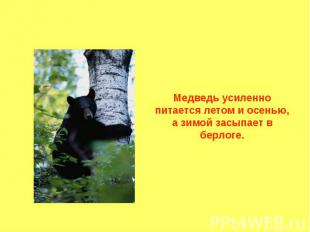 Медведь усиленно питается летом и осенью, а зимой засыпает в берлоге.