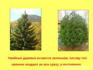Хвойные деревья остаются зелеными, потому что хвоинки опадают не все сразу, а по