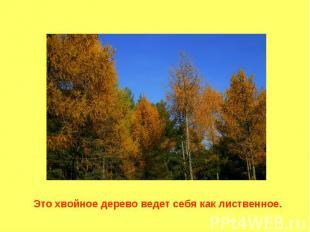 Это хвойное дерево ведет себя как лиственное.