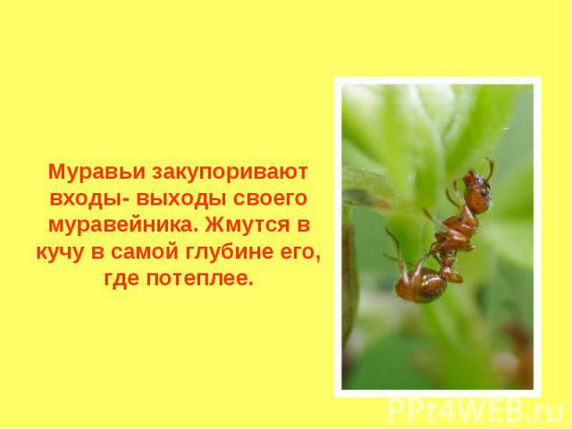 Муравьи закупоривают входы- выходы своего муравейника. Жмутся в кучу в самой глубине его, где потеплее.