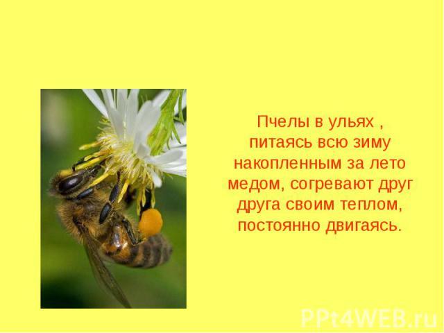 Пчелы в ульях , питаясь всю зиму накопленным за лето медом, согревают друг друга своим теплом, постоянно двигаясь.