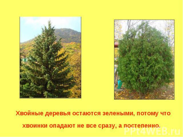 Хвойные деревья остаются зелеными, потому что хвоинки опадают не все сразу, а постепенно.