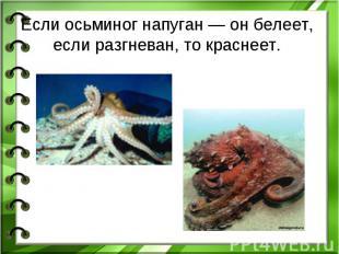 Если осьминог напуган— он белеет, если разгневан, то краснеет.