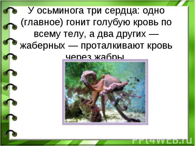 У осьминога трисердца: одно (главное) гонит голубую кровь по всему телу, а два других— жаберных— проталкивают кровь через жабры.