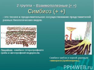 2 группа – Взаимополезные (+ +) Симбиоз (+ +) - это тесное и продолжительное сос