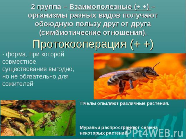 2 группа – Взаимополезные (+ +) – организмы разных видов получают обоюдную пользу друг от друга (симбиотические отношения). Протокооперация (+ +)- форма, при которой совместное существование выгодно, но не обязательно для сожителей. Муравьи распрост…