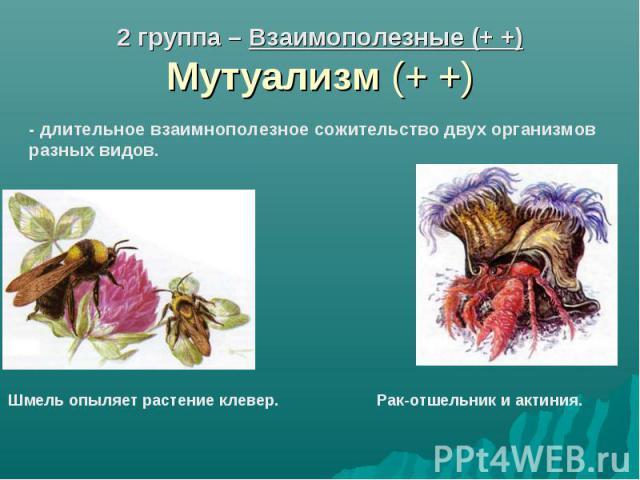 2 группа – Взаимополезные (+ +) Мутуализм (+ +)- длительное взаимнополезное сожительство двух организмов разных видов. Шмель опыляет растение клевер. Рак-отшельник и актиния.
