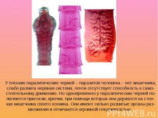 У плоских паразитических червей – паразитов человека – нет кишечника, слабо разв