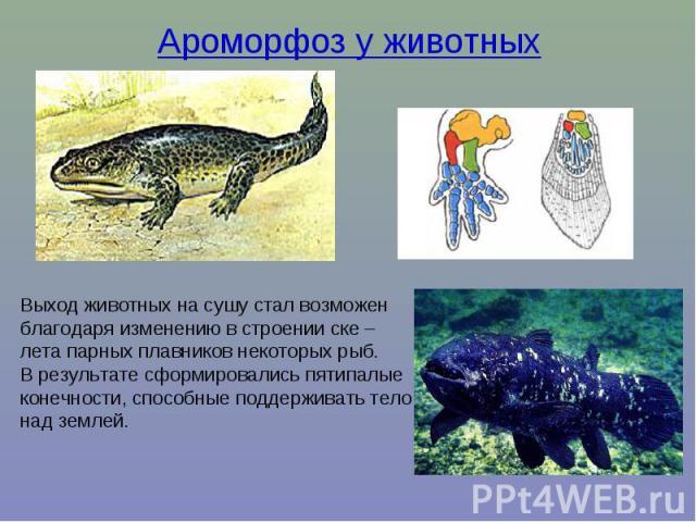 Ароморфоз у животных Выход животных на сушу стал возможен благодаря изменению в строении ске – лета парных плавников некоторых рыб. В результате сформировались пятипалые конечности, способные поддерживать тело над землей.