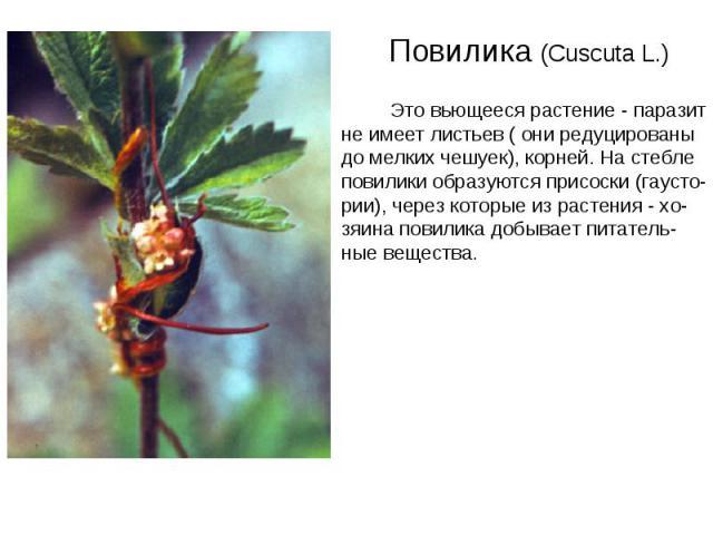Повилика (Cuscuta L.) Это вьющееся растение - паразит не имеет листьев ( они редуцированы до мелких чешуек), корней. На стебле повилики образуются присоски (гаусто- рии), через которые из растения - хо- зяина повилика добывает питатель- ные вещества.
