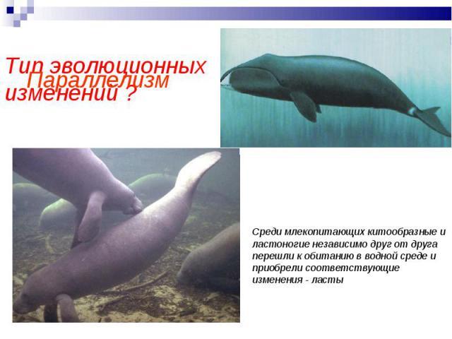 Параллелизм Тип эволюционных изменений ? Среди млекопитающих китообразные и ластоногие независимо друг от друга перешли к обитанию в водной среде и приобрели соответствующие изменения - ласты