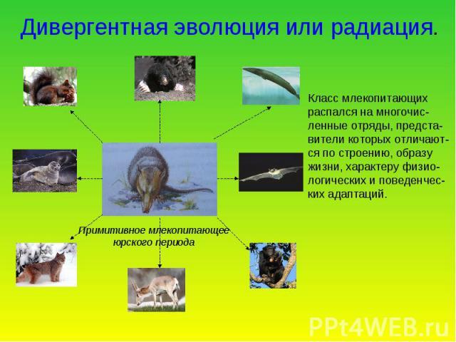 Дивергентная эволюция или радиация. Класс млекопитающих распался на многочис- ленные отряды, предста- вители которых отличают- ся по строению, образу жизни, характеру физио- логических и поведенчес- ких адаптаций. Примитивное млекопитающее юрского периода