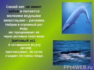 Синий кит не имеет зубов и питается мелкими водными животными – рачками. Набрав