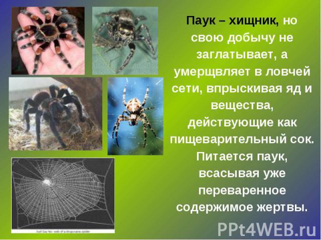 Паук – хищник, но свою добычу не заглатывает, а умерщвляет в ловчей сети, впрыскивая яд и вещества, действующие как пищеварительный сок. Питается паук, всасывая уже переваренное содержимое жертвы.