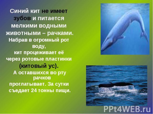 Синий кит не имеет зубов и питается мелкими водными животными – рачками. Набрав в огромный рот воду, кит процеживает её через ротовые пластинки (китовый ус). А оставшихся во рту рачков проглатывает. За сутки съедает 24 тонны пищи.