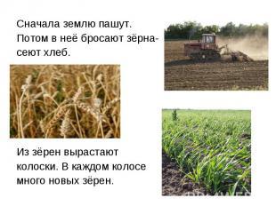 Сначала землю пашут. Потом в неё бросают зёрна- сеют хлеб. Из зёрен вырастают ко