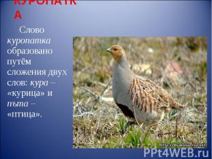 КУРОПАТКА Слово куропатка образовано путём сложения двух слов: кура – «курица» и