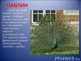 ПАВЛИН Самой красивой птицей считается павлин. Особенно бросается всем в глаза и