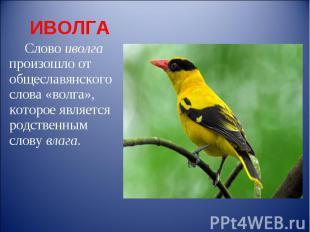 ИВОЛГА Слово иволга произошло от общеславянского слова «волга», которое является